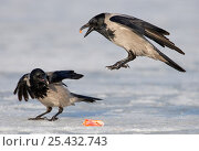 Купить «Hooded Crows (Corvus cornix) on ice fighting over food. Porvoo, Finland. March. Magic Moments book plate.», фото № 25432743, снято 19 марта 2019 г. (c) Nature Picture Library / Фотобанк Лори