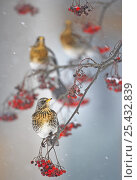 Купить «Fieldfare (Turdus pilaris) on fruit tree in snow. Helsinki, Finland. January. Overall winner in the Swiss Ornithological Institute photography competition 2013.», фото № 25432839, снято 25 июня 2019 г. (c) Nature Picture Library / Фотобанк Лори