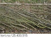 Купить «Hedge, traditional layering in spring, Warwickshire, UK», фото № 25433515, снято 19 августа 2018 г. (c) Nature Picture Library / Фотобанк Лори