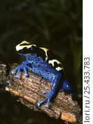 Купить «Dyeing poison arrow frog {Dendrobates tinctorius} captive, from French Guyana», фото № 25433783, снято 29 мая 2020 г. (c) Nature Picture Library / Фотобанк Лори