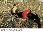 Купить «Magnificent frigate bird {Frigata magnificens} pair on nest, male displaying with red throat pouch inflated, Genovesa Is, Galapagos», фото № 25433799, снято 7 июля 2020 г. (c) Nature Picture Library / Фотобанк Лори