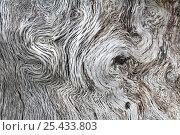Купить «Close up of Holm oak bark {Quercus ilex} Spain», фото № 25433803, снято 22 сентября 2018 г. (c) Nature Picture Library / Фотобанк Лори