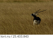 Blackbuck (Antelope cervicapra) male sniffing the air, Velavadar National Park. Gujarat. India. Стоковое фото, фотограф Pete Oxford / Nature Picture Library / Фотобанк Лори