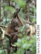 Orangutan {Pongo pygmaeus} baby, Tanjung Puting NP, Kalimantan, Borneo, Indonesia. Стоковое фото, фотограф Nature Production / Nature Picture Library / Фотобанк Лори