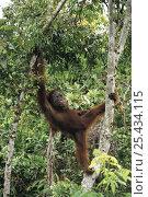 Orangutan {Pongo pygmaeus} climbing tree, Tanjung Puting NP, Kalimantan, Borneo, Indonesia. Стоковое фото, фотограф Nature Production / Nature Picture Library / Фотобанк Лори