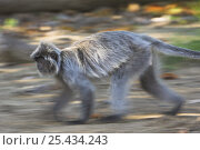 Silvered Langur (Trachypithecus cristatus / Presbytis cristata) running on forest floor. Bako National Park, Sarawak, Borneo. Стоковое фото, фотограф Nick Garbutt / Nature Picture Library / Фотобанк Лори