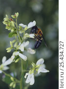 Купить «Giant resin bee {Megachile sculpturalis} sucking nectar from Bush / Japanese Clover {Lespedeza sp}, Japan», фото № 25434727, снято 23 января 2018 г. (c) Nature Picture Library / Фотобанк Лори
