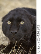 Leopard Black / Melanistic Panther) {Panthera pardus} looking startled, Captive. Стоковое фото, фотограф Dave Watts / Nature Picture Library / Фотобанк Лори
