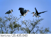 Marabou storks {Leptoptilos crumeniferus} in treetops, Kruger NP South Africa. Стоковое фото, фотограф Philippe Clement / Nature Picture Library / Фотобанк Лори
