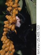 Купить «White lipped tamarin (Saguinus labiatus) feeding on Llana flower, Amazonia, Brazil», фото № 25435123, снято 27 мая 2019 г. (c) Nature Picture Library / Фотобанк Лори