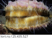 Купить «Scallop (Chlamys sp.) portrait with eyes peering out of white mantle fringes. Puget Sound, Canada, Pacific Ocean.», фото № 25435527, снято 16 августа 2018 г. (c) Nature Picture Library / Фотобанк Лори