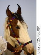 Купить «Kathiawari horse with inward-turned ears that meet at the tips, Pushkar camel and livestock fair, Pushkar, Rajasthan, India», фото № 25436091, снято 20 октября 2018 г. (c) Nature Picture Library / Фотобанк Лори