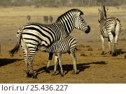 Купить «Burchell's Zebra (Equus quagga) female with suckling foal. Linyanti and Savuti areas, Botswana, Southern Africa», фото № 25436227, снято 20 января 2018 г. (c) Nature Picture Library / Фотобанк Лори
