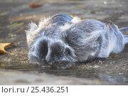 Silvered Langurs (Trachypithecus cristatus / Presbytis cristata) drinking, Bako National Park, Sarawak, Borneo. Стоковое фото, фотограф Nick Garbutt / Nature Picture Library / Фотобанк Лори