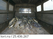 Купить «Dead Sea turtles being transported in truck for use in Hindu ceremonies, Bali, Indonesia», фото № 25436267, снято 25 сентября 2018 г. (c) Nature Picture Library / Фотобанк Лори