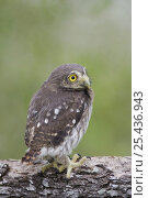 Ferruginous Pygmy-Owl {Glaucidium brasilianum}young newly fledged, Rio Grande Valley, Texas, USA. Стоковое фото, фотограф Rolf Nussbaumer / Nature Picture Library / Фотобанк Лори