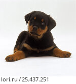 Rottweiler puppy, 7 weeks old, lying down with head up, paws spread. Стоковое фото, фотограф Jane Burton / Nature Picture Library / Фотобанк Лори