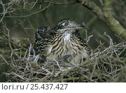 Купить «Greater Roadrunner (Geococcyx californianus) on nest in Paloverde (Parkinsonia texana) shrub with chick, Starr County, Rio Grande Valley, Texas, USA. May 2002», фото № 25437427, снято 21 августа 2018 г. (c) Nature Picture Library / Фотобанк Лори