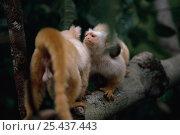 Купить «Golden-white tassel-ear marmoset / Silky marmosets (Mico chrysoleucos / Callithrix chrysoleuca) aggression, Amazonia, Brazil», фото № 25437443, снято 17 ноября 2019 г. (c) Nature Picture Library / Фотобанк Лори