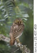 Ferruginous Pygmy-Owl (Glaucidium brasilianum) portrait, Willacy County, Rio Grande Valley, Texas, USA. June 2004. Стоковое фото, фотограф Rolf Nussbaumer / Nature Picture Library / Фотобанк Лори