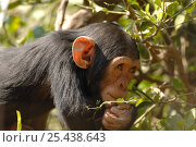 Купить «Chimpanzee {Pan troglodytes} juvenile sniffing vegetation, captive, Chimfunshi wildlife orphanage, Zambia», фото № 25438643, снято 16 июля 2018 г. (c) Nature Picture Library / Фотобанк Лори