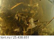 Купить «Breeding Common european toads (Bufo bufo) with strings of toadspawn, Germany», фото № 25438651, снято 15 декабря 2017 г. (c) Nature Picture Library / Фотобанк Лори