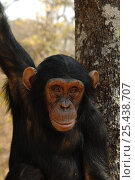Купить «Chimpanzee {Pan troglodytes} captive, Chimfunshi wildlife orphanage, Zambia», фото № 25438707, снято 16 июля 2018 г. (c) Nature Picture Library / Фотобанк Лори