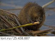 Купить «Muskrat {Ondatra zibethica} feeding on vegetation, NY, USA», фото № 25438887, снято 8 апреля 2020 г. (c) Nature Picture Library / Фотобанк Лори