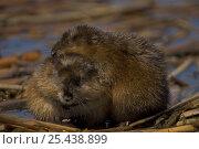 Купить «Muskrat {Ondatra zibethicus} NY, USA», фото № 25438899, снято 8 апреля 2020 г. (c) Nature Picture Library / Фотобанк Лори