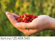 Field of ripe strawberries in a man's palm. Стоковое фото, фотограф Ольга Соловьева / Фотобанк Лори