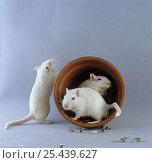 Купить «Albino Mongolian Gerbils {Meriones unguiculatus} with flowerpot», фото № 25439627, снято 22 января 2019 г. (c) Nature Picture Library / Фотобанк Лори