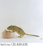 Купить «Agouti Mongolian Gerbil {Meriones unguiculatus} sniffing a bowl of food before feeding», фото № 25439635, снято 15 октября 2018 г. (c) Nature Picture Library / Фотобанк Лори