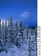 Купить «Winter snow scene near Lake Louise, the Rockies, Banff National Park, Alberta, Canada», фото № 25439859, снято 16 декабря 2017 г. (c) Nature Picture Library / Фотобанк Лори