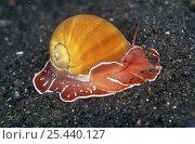 Купить «Moon snail (Naticarius orientalis) showing foot, antennae and shell, Sulawesi, Indonesia», фото № 25440127, снято 20 сентября 2018 г. (c) Nature Picture Library / Фотобанк Лори