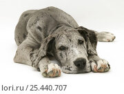 Blue Harlequin Great Dane pup, 'Maisie', lying with chin on the floor. Стоковое фото, фотограф Jane Burton / Nature Picture Library / Фотобанк Лори