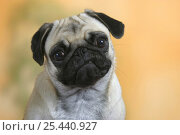 Купить «Domestic dog, Pug portrait», фото № 25440927, снято 16 февраля 2019 г. (c) Nature Picture Library / Фотобанк Лори