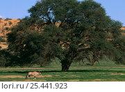 Gemsbok {Oryx gazella} in landscape, Kgalagadi transfrontier NP, South africa. Стоковое фото, фотограф Pete Oxford / Nature Picture Library / Фотобанк Лори