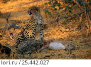 Купить «Chetah {Acinonyx jubatus} mother and cubs feeding on Impala carcass, Okavango Delta, Botswana», фото № 25442027, снято 18 апреля 2019 г. (c) Nature Picture Library / Фотобанк Лори