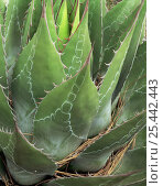 Close-up of Agave (Agave montana) with red thorns / spines and interesting patternation on blades, Sierra Madre Oriental mountain range, Tamaulipas, Mexico. Стоковое фото, фотограф Jack Dykinga / Nature Picture Library / Фотобанк Лори