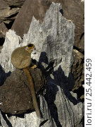 Купить «Crowned Lemur (Eulemur /Lemur coronatus) male sitting on limestone 'tsingy'.  Ankarana Special Reserve. Northern MADAGASCAR, endemic», фото № 25442459, снято 16 августа 2018 г. (c) Nature Picture Library / Фотобанк Лори