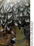 Купить «Close-up of cap of Shaggy Inkcap / Lawyer's Wig fungus deliquescing (Coprinus comatus) Belgium», фото № 25442627, снято 14 декабря 2017 г. (c) Nature Picture Library / Фотобанк Лори