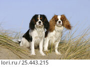 Купить «Domestic dogs, Cavalier King Charles Spaniels(tricolor and Blenheim variation) sitting on sand dune», фото № 25443215, снято 25 марта 2019 г. (c) Nature Picture Library / Фотобанк Лори