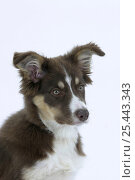 Купить «Domestic dog, Border Collie puppy, 4 months old», фото № 25443343, снято 19 июля 2018 г. (c) Nature Picture Library / Фотобанк Лори