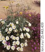 Купить «Birdcage evening primrose {Oenothera deltoides}, Sand sunflowers {Helianthus niveus} and Sand verbena {Abronia villosa} flowering on sand dunes, Pinacate...», фото № 25443439, снято 23 июля 2018 г. (c) Nature Picture Library / Фотобанк Лори