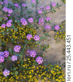 Купить «Sand verbena {Abronia villosa} and Chinchweed {Pectis papposa} flowering in desert, Sierra del Rosario, Pinacate and Gran Desierto Altar Biosphere Reserve, Sonoran desert, Mexico», фото № 25443451, снято 17 августа 2018 г. (c) Nature Picture Library / Фотобанк Лори