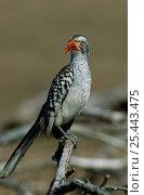 Купить «Red billed Hornbill {Tockus erythrorhynchus} Kruger NP, South Africa.», фото № 25443475, снято 17 июня 2019 г. (c) Nature Picture Library / Фотобанк Лори