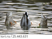 Купить «Mallard duck (Anas platyrhyndos) male and two femails up-ended dabbling in water, France», фото № 25443631, снято 27 мая 2020 г. (c) Nature Picture Library / Фотобанк Лори