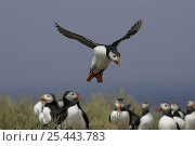 Group of puffins (Fratercula arctica) with one in flight, Farnes, uk. Стоковое фото, фотограф Paul Hobson / Nature Picture Library / Фотобанк Лори
