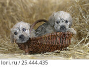 Купить «Domestic dog, two Dandie Dinmont Terrier puppies, 6 weeks, in basket», фото № 25444435, снято 17 июля 2018 г. (c) Nature Picture Library / Фотобанк Лори
