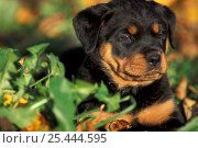 Domestic dog, Rottweiler puppy in grass. Стоковое фото, фотограф Adriano Bacchella / Nature Picture Library / Фотобанк Лори